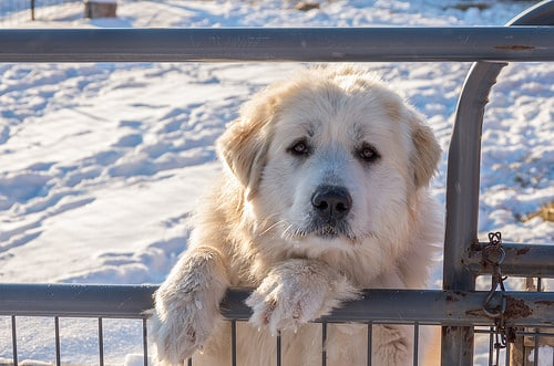 great pyrenees photo